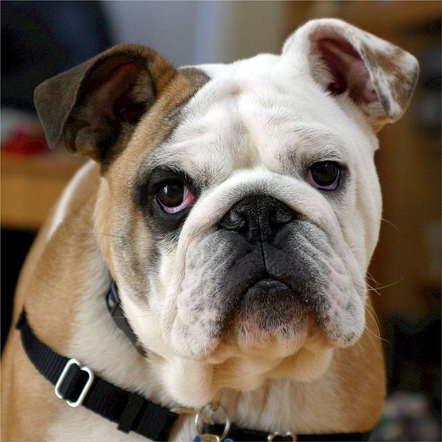 english-bulldog-538485_640