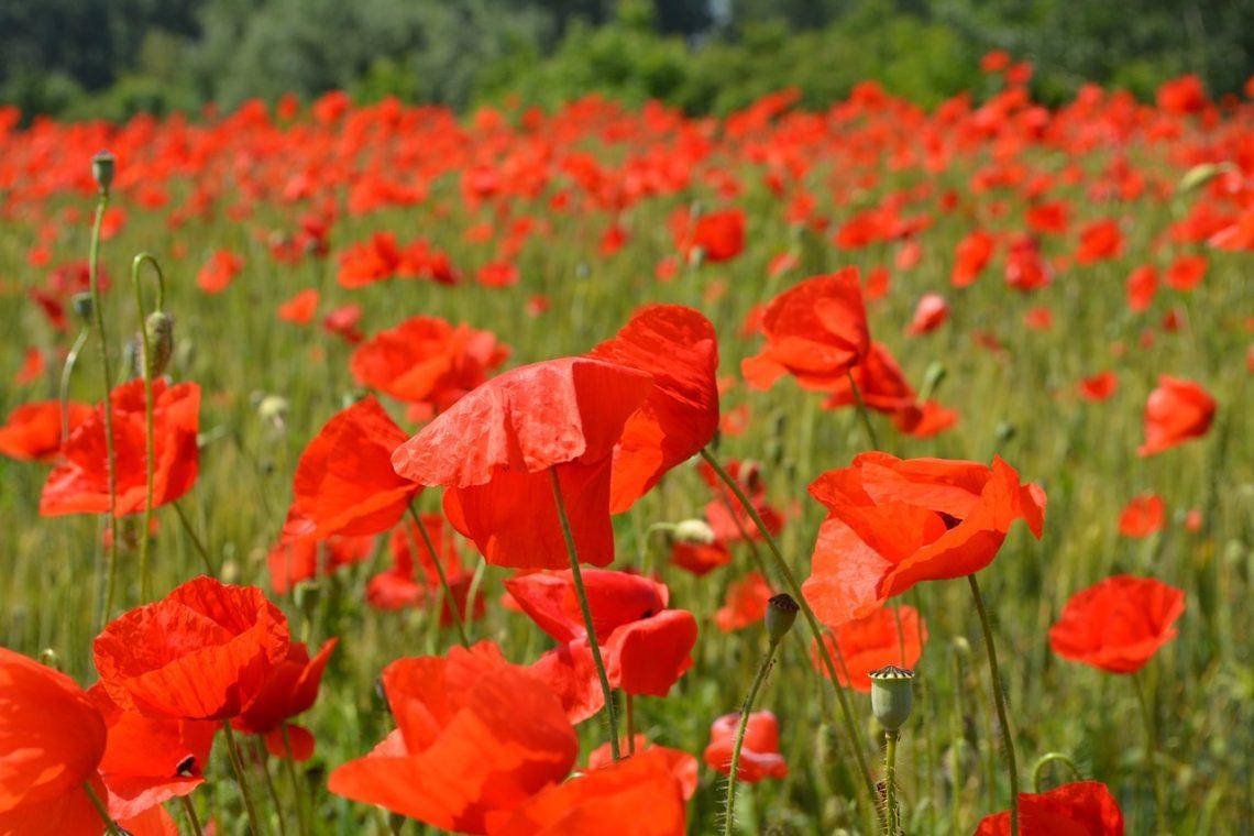 poppies-477864_1280